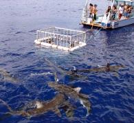 安全なケージの中からサメと対面。ドキドキは最高潮に!