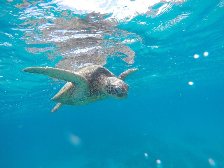 ラニカイビーチでウミガメを探そう