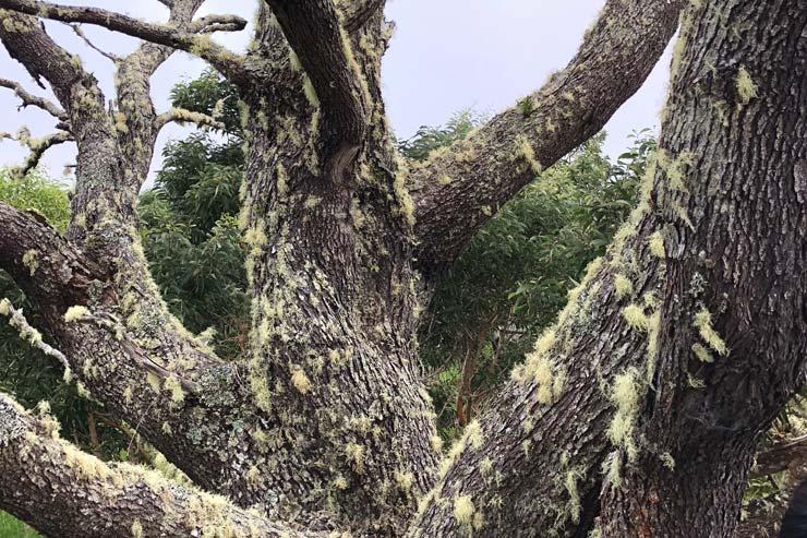 木の表面や枝にひげのように見えるのは、「ウミコア」という地衣類