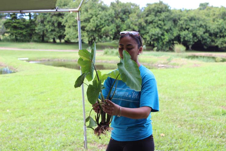 タロイモは、ハワイの神話で人間と兄弟である…と言われているほど大切な植物