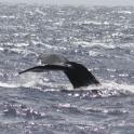 スターオブホノルル号からクジラ発見!