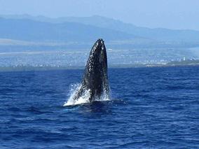 冬季限定クルーズでクジラを見に行こう!
