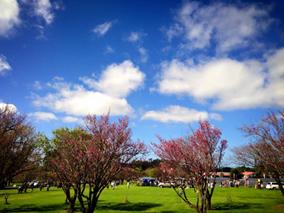 ハワイ島ワイメアの桜祭は日本情緒たっぷり