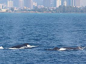あっちにもこっちにもクジラ、クジラ~【スターオブホノルル号】