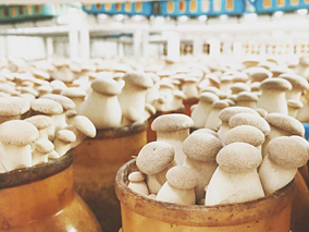 むっちり大きいハワイ島キノコ栽培所を見学【ハマクア・マッシュルーム】