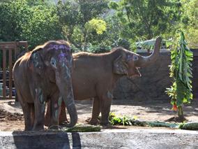 ホノルル動物園の新ゾウ舎がついに完成!