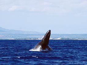 豪華クルーズでクジラに会いに行こう