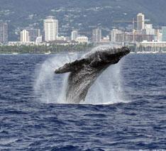 遭遇率95%超!ハイテク船でクジラに会おう