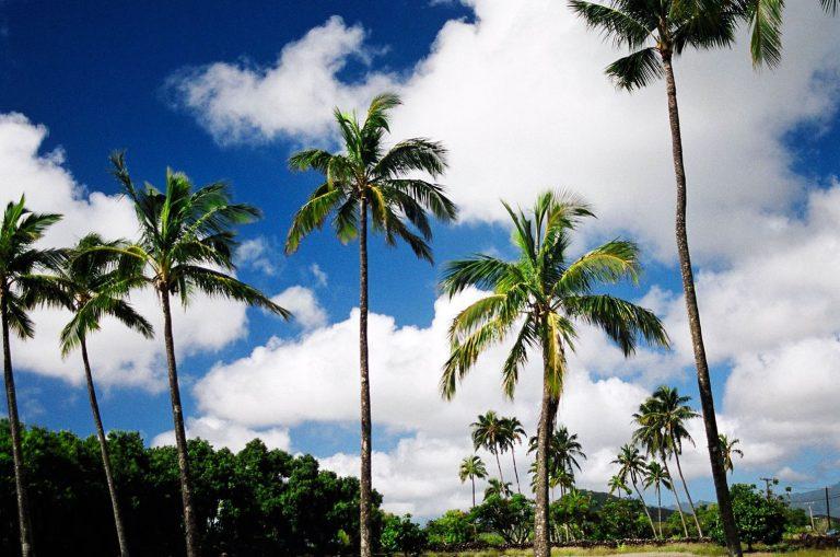 ★ ハワイのヤシの木の秘密♪