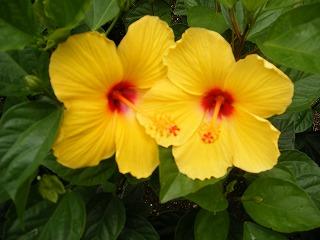 南国ハワイの花