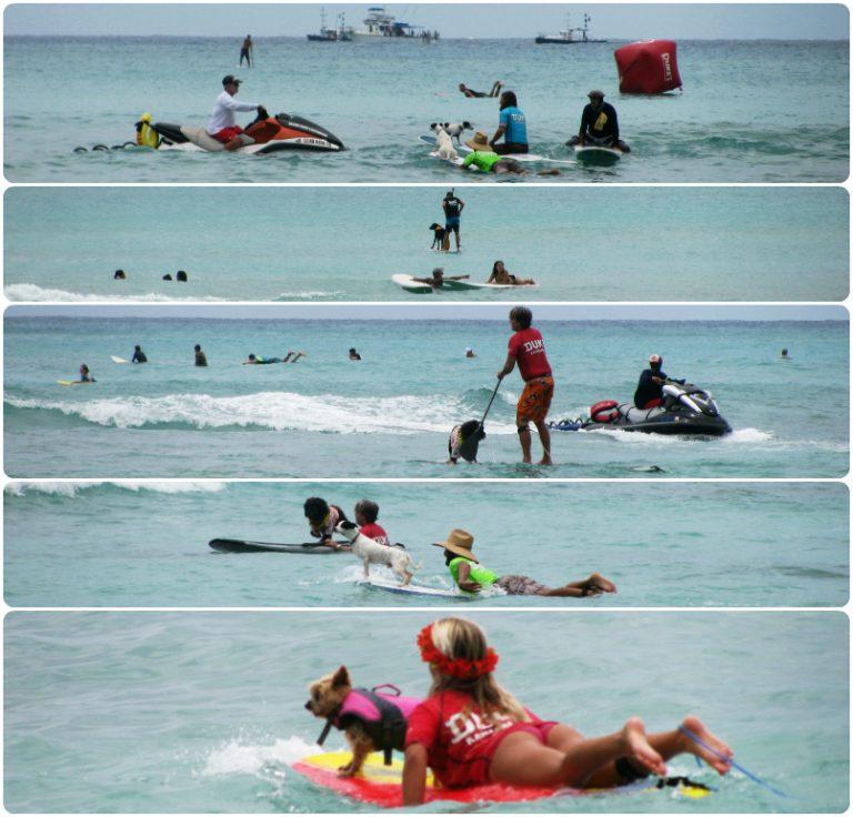 サーフィン犬 大会の様子