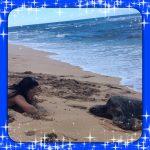 ハワイでHONU PONO LIFE