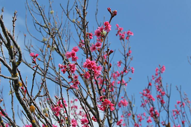 日系人の想いあふれるハワイ島の桜まつりへ