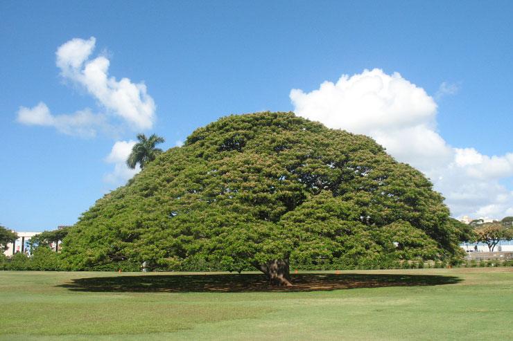 この木なんの木…とカメハメハ一族の関係