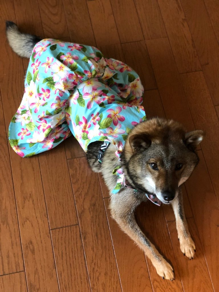 カルビン&スージー・柴犬の、千夜・チヤ・Cheer