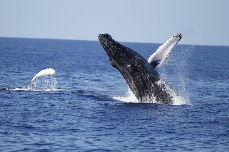 ハワイで野生のクジラと出会うホエールウオッチングツアー!