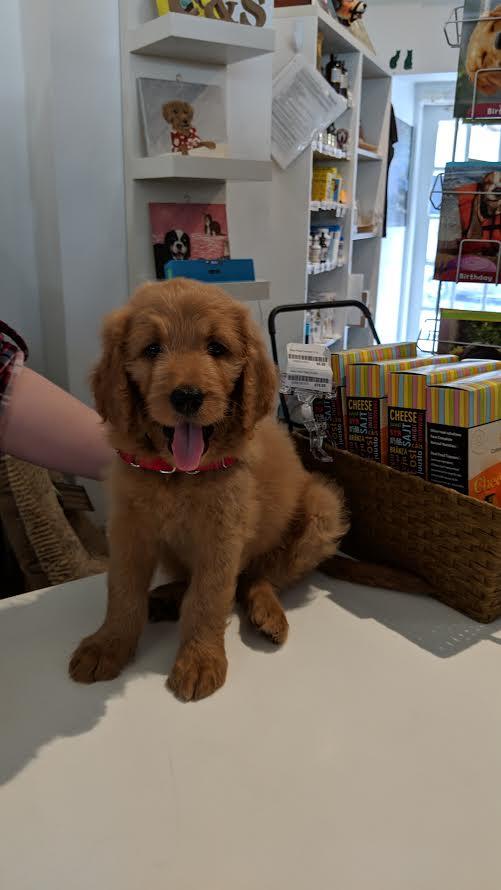 カルビン&スージー・ゴールデンドゥードル子犬・Mimi