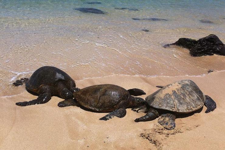 ノースショアで人気の海ガメビーチ。甲羅干ししているホヌがかわいい!