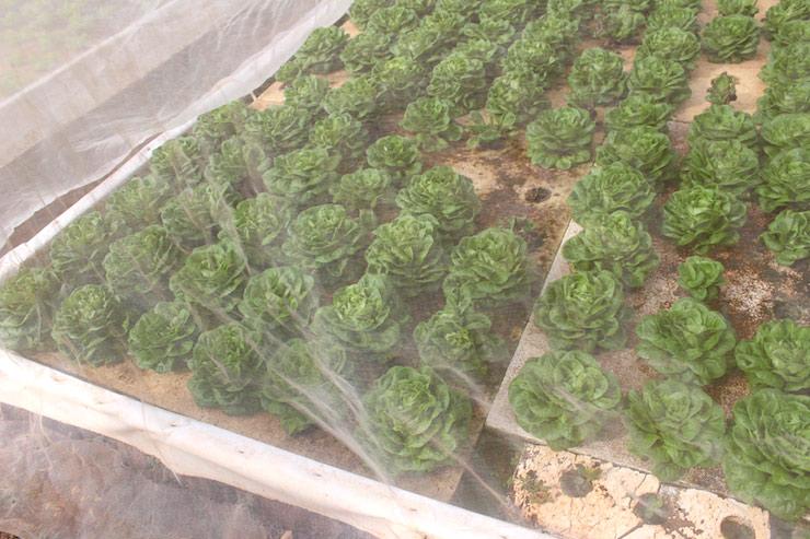 水耕栽培されているレタス
