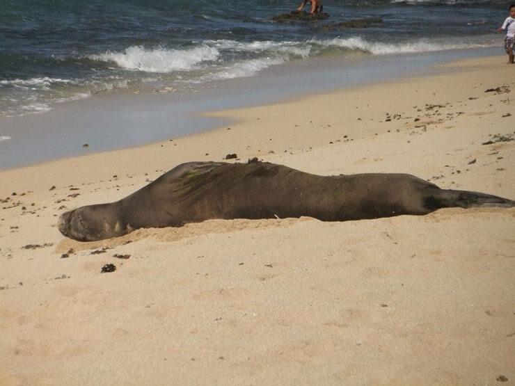ハワイのビーチとモンクシール