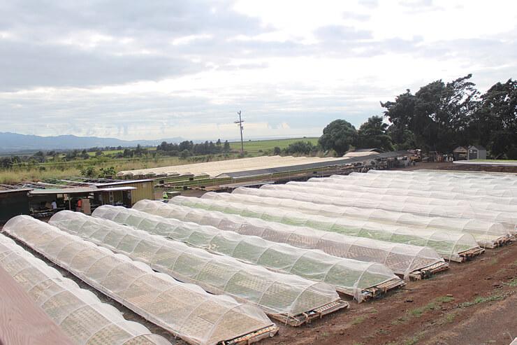 水耕栽培しているレタスはホノルル市内に卸している