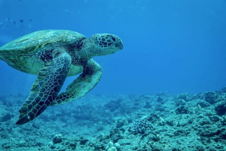 ホヌにとってもハワイの海はパラダイス♪