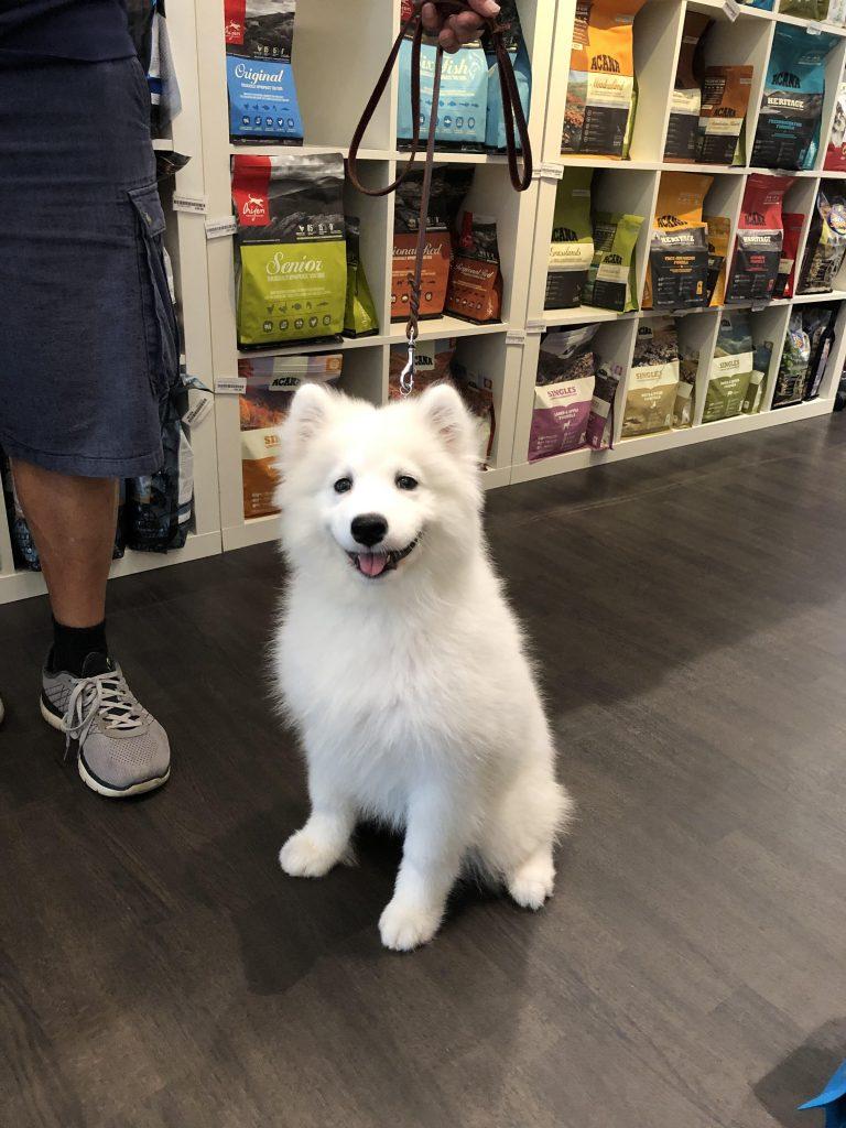 カルビン&スージー・サモエドの子犬・Tifa