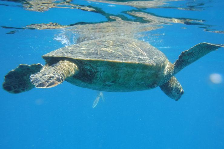 ハワイでウミガメと泳ぐ