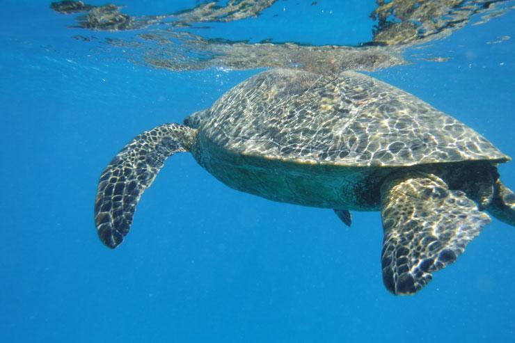 ハワイの海で野生のウミガメと泳いできた!