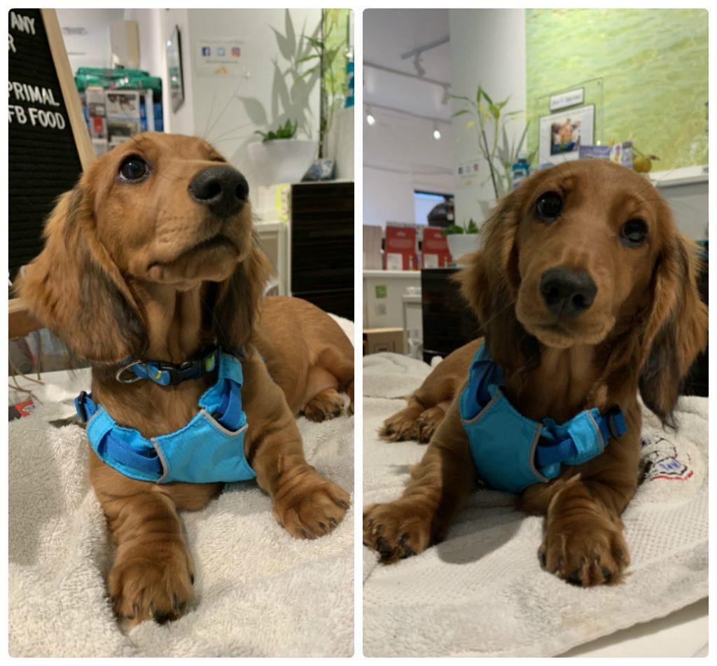 カルビン&スージー:ダックスの子犬Mollie