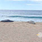 ビーチで出会った仲良くお昼寝中のハワイアンモンクシール