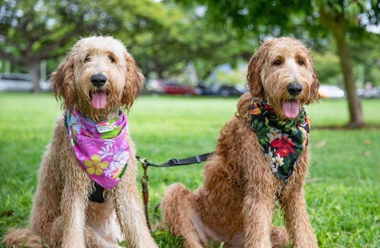 カルビン&スージー:アロハ・バンダナでおしゃれに目立つ