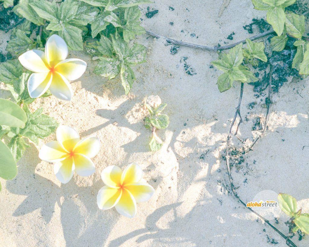 白と黄色が可愛い星型のプルメリア