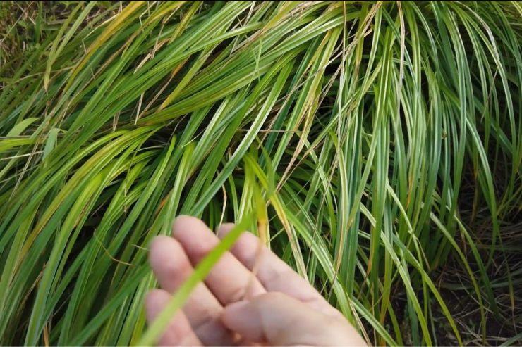 カヴェルの葉